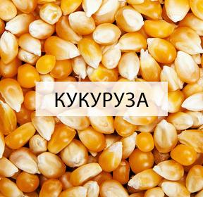 susarny-kukurice
